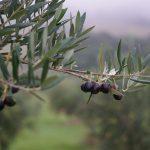 Olives harvest Photo Bryony Cole COPYRIGHT GULF NEWS 2016