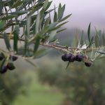 Rangihoua Olive Harvest 2016. Photo Bryony Cole COPYRIGHT GULF NEWS