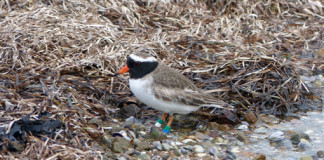 shore plover at Blackpool RD 2015