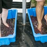 Wine and Food festival foot stomping at Passage Rock Photo Denis La Touche