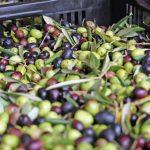 Olive Harvest 1 Rangihoua olives generic BC