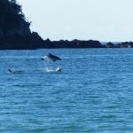 Dolphin at Oneroa Photo Mark Peters, Gulf News