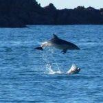 Dolphin at Oneroa Photo Mark Peters, Waiheke Gulf News