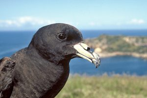 Scientists are concerned that an oil spill from the Niagara could devastate populations of rare black petrels.