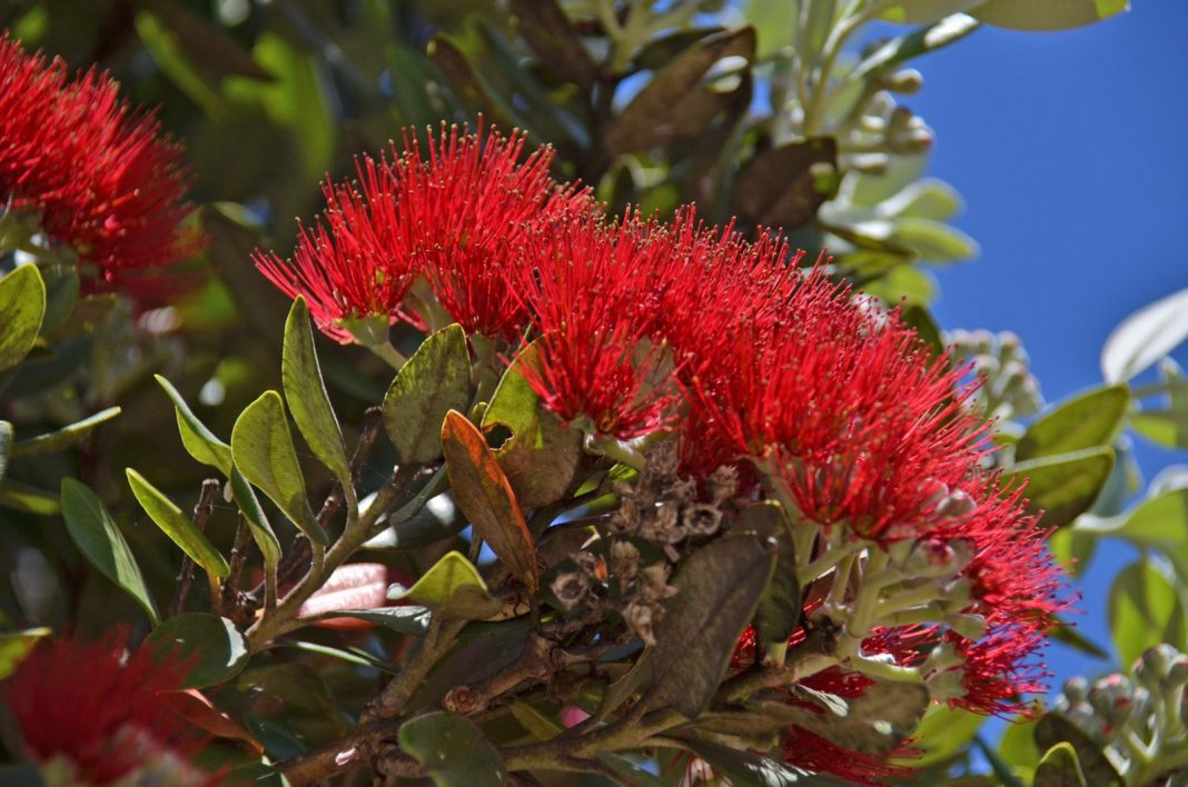 Environmental Court Infringement for felling of pohutukawa