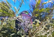 Kereru in Kowhai Photo Helen Escot